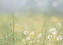 Ένα λιβάδι των πικραλίδων Στοκ εικόνες με δικαίωμα ελεύθερης χρήσης