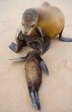 Ένα λιοντάρι θάλασσας μωρών με τη μητέρα του στην άμμο galapagos νησιά ωκεάνιος ειρηνικός Ισημερινός στοκ εικόνα με δικαίωμα ελεύθερης χρήσης