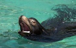 Λιοντάρι θάλασσας Στοκ Φωτογραφία