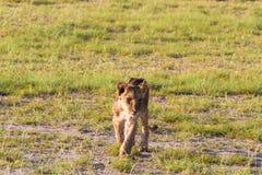 Ένα λιοντάρι στη σαβάνα Amboseli, Κένυα Στοκ Φωτογραφία