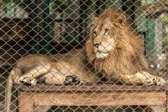 Ένα λιοντάρι στο μεγάλο κλουβί Στοκ Φωτογραφίες