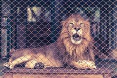 Ένα λιοντάρι στο μεγάλο κλουβί Στοκ εικόνες με δικαίωμα ελεύθερης χρήσης