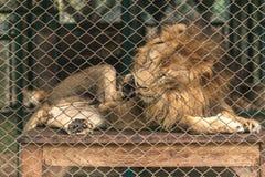 Ένα λιοντάρι στο μεγάλο κλουβί Στοκ εικόνα με δικαίωμα ελεύθερης χρήσης