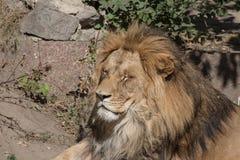 Ένα λιοντάρι στοκ εικόνα με δικαίωμα ελεύθερης χρήσης