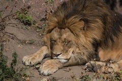 Ένα λιοντάρι στοκ φωτογραφία