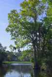 Δέντρο κυπαρισσιών στο αλατισμένο τρέξιμο ανοίξεων Στοκ Φωτογραφία