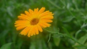 Ένα ιταλικό λουλούδι Στοκ Εικόνες