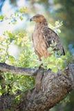 Ένα κάθετο, πλήρες μήκος, φωτογραφία χρώματος ενός καστανόξανθου αετού, Aqu Στοκ Εικόνα
