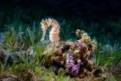 Ένα κίτρινο θηλυκό κοινό Seahorse (ιππόκαμπος Taeniopterus) στο θόριο στοκ φωτογραφίες