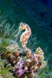 Ένα κίτρινο θηλυκό κοινό Seahorse (ιππόκαμπος Taeniopterus) στο θόριο στοκ εικόνες