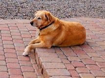 Ένα κίτρινο Λαμπραντόρ που βάζει στο patio στοκ εικόνες με δικαίωμα ελεύθερης χρήσης
