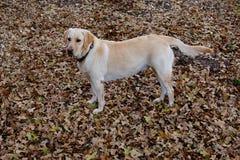 Ένα κίτρινο Λαμπραντόρ που στέκεται στα δρύινα φύλλα στοκ φωτογραφία