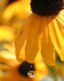 Ένα κίτρινο λουλούδι στάζει μια ενιαία πτώση δροσιάς Στοκ φωτογραφία με δικαίωμα ελεύθερης χρήσης