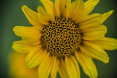 ένα κίτρινο λουλούδι Στοκ εικόνα με δικαίωμα ελεύθερης χρήσης