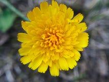ένα κίτρινο λουλούδι Στοκ Φωτογραφίες
