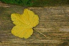 Ένα κίτρινο πεσμένο φύλλο βρίσκεται σε έναν γκρίζο ξύλινο πίνακα στο πράσινο βρύο Στοκ φωτογραφία με δικαίωμα ελεύθερης χρήσης
