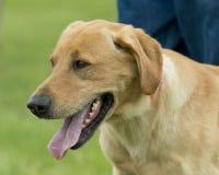 Ένα κίτρινο σκυλί κυνηγιού εργαστηρίων Στοκ φωτογραφίες με δικαίωμα ελεύθερης χρήσης