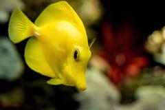 Ένα κίτρινο τροπικό ψάρι Στοκ Εικόνες