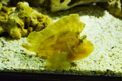 Ένα κίτρινο ψάρι κοραλλιών στην άμμο Στοκ Εικόνες