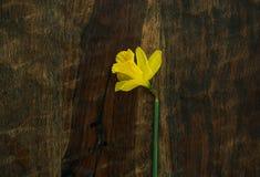 Ένα κίτρινο daffodil σε έναν σκοτεινό ξύλινο πίνακα Στοκ Φωτογραφίες