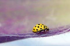 Ένα κίτρινο ladybug Στοκ εικόνα με δικαίωμα ελεύθερης χρήσης