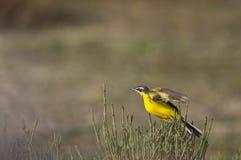 Κίτρινο Wagtail ακριβώς περίπου για να πετάξει Στοκ εικόνες με δικαίωμα ελεύθερης χρήσης