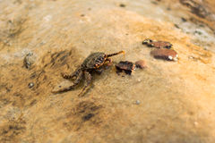 Ένα καβούρι που προσκολλάται σε έναν βράχο Koh στο νησί Rong Sanloem, Καμπότζη Στοκ εικόνα με δικαίωμα ελεύθερης χρήσης