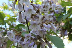 Ένα καταπληκτικό δέντρο ανθίζει στα ιώδη λουλούδια Στοκ Εικόνες