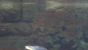 Ένα κατώτερο νερό Penguins απόθεμα βίντεο