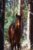 Ένα καφετί άγριο άλογο κατά μήκος του δασικού δρόμου στο AZ Στοκ Εικόνες