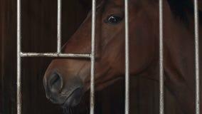 Ένα καφετί άλογο κούρσας που στέκεται σε μια μάντρα Όμορφο κεφάλι αλόγων κινηματογραφήσεων σε πρώτο πλάνο φιλμ μικρού μήκους