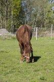 Ένα καφετί άλογο που τρώει τη χλόη σε έναν πράσινο τομέα στη Φινλανδία Στοκ Εικόνες