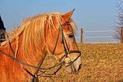 Ένα καφετί άλογο Στοκ Φωτογραφίες