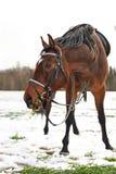 Ένα καφετί άλογο Στοκ εικόνες με δικαίωμα ελεύθερης χρήσης