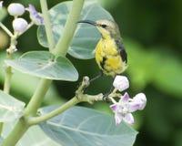 Ένα καφετί θηλυκό ελιών sunbird που ταΐζει επάνω στο νέκταρ του λουλουδιού Calotropis Στοκ Εικόνες