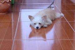 Ένα καφετί και άσπρο κοίταγμα σκυλιών Στοκ Εικόνες