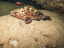 Ένα καφετί Grouper marginatus Epinephelus σε έναν βράχο Στοκ Εικόνα