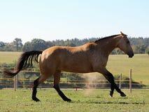 Ένα καλπάζοντας άλογο σε ένα λιβάδι Στοκ Φωτογραφία