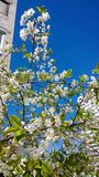 Ένα κεράσι-δέντρο στο άνθος Στοκ φωτογραφία με δικαίωμα ελεύθερης χρήσης