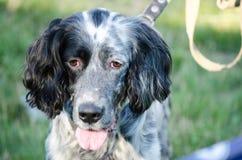 Ένα κεφάλι του αγγλικού ρυθμιστή backgrounds dog hunting labrador white yellow Στοκ Εικόνες