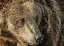 Ένα κεφάλι αρκούδων στοκ φωτογραφίες