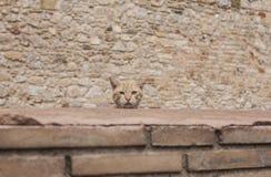 Ένα κεφάλι μιας γάτας Στοκ Εικόνες