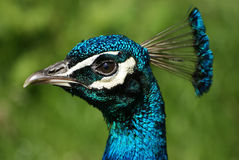 Ένα κεφάλι peacocks Στοκ φωτογραφία με δικαίωμα ελεύθερης χρήσης