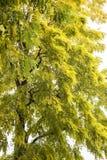Ένα κιτρινοπράσινο δέντρο Στοκ εικόνα με δικαίωμα ελεύθερης χρήσης