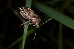 Ένα κοινό έντομο brow - βρωμαήστε το ζωύφιο σε ένα ενιαίο φύλλο χλόης στοκ φωτογραφίες