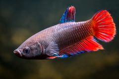 Ένα κοινό θηλυκό ψάρι betta στοκ φωτογραφία