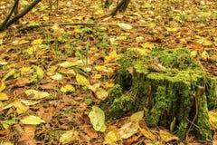 Ένα κομμάτι σε ένα παλαιό κολόβωμα σε ένα δάσος φθινοπώρου που στέκεται στο έδαφος που καλύπτεται με το πεσμένο φθινόπωρο φεύγει Στοκ Εικόνες