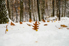 Ένα κομμάτι της βαλανιδιάς στο χιόνι Στοκ εικόνες με δικαίωμα ελεύθερης χρήσης