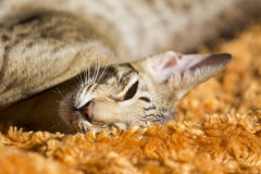 Ένα κοντό ασιατικό γατάκι τρίχας Στοκ Εικόνα