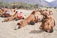 Ένα κοπάδι του διπλασίου οι βακτριανές καμήλες στην κοιλάδα Nubra Στοκ εικόνα με δικαίωμα ελεύθερης χρήσης